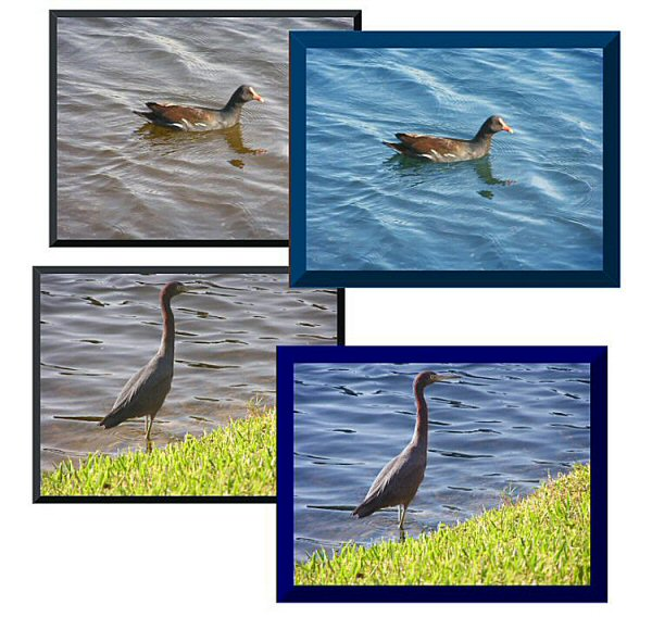 Photo Restoration and Clarification.  Clarify Photo - Water fowl - Photo Restoration by SmileDogProductions.com